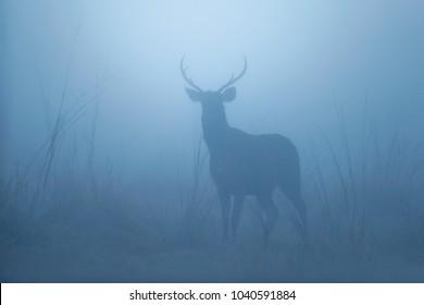 Sambar deer in the nature habitat during misty morning. Deer in the magical morning fog in corbett national park. Misty mornig in India. Jim Corbett´s park. Rusa unicolor.