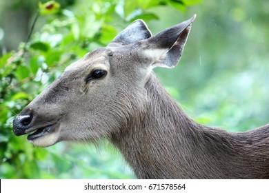 sambar deer - Nelliyampathi