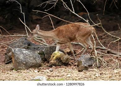 Sambar Deer, park next to Bangkok, Thailand