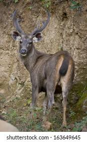 Sambar deer in Ranthambhore National Park of India