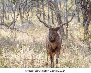 Sambar deer in Ranthambore National Park in Rajasthan, India