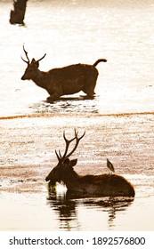 Sambar Deer in Ranthambore National Park in India