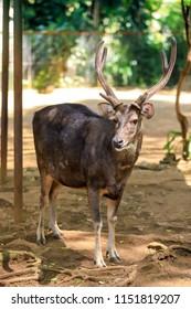 Sambar Deer, Rusa unicolor, Sambar Sambar, Unicolor Deer