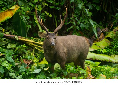 Sambar deer (Rusa unicolor  or Cervus unicolor) in wild, Thailand