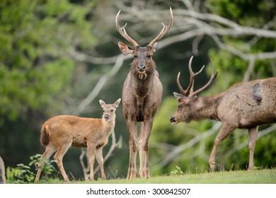 Sambar deer (Rusa unicolor) fawn following it's family