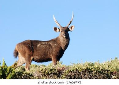 Sambar deer stand on green grass (Cervus unicolor swinhoei).