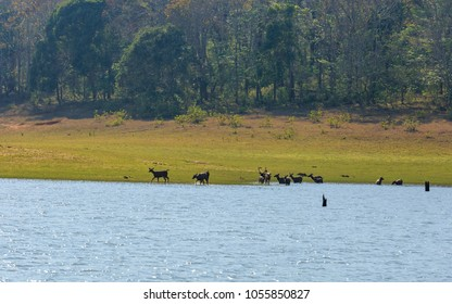 Sambar deer in Thekkady. A famous tourist place in Kerala, with submerged trees in the lake surrounded by Periyar tiger reserve national park.
