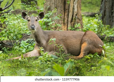 Sambar deer wandering around trees in monsoon season of  Kabini Forest , Karnataka , India