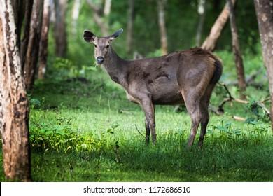 Sambar deer wandering around trees in monsoon season of  Kabini Forest , Karnataka , India