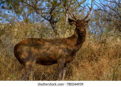 Sambar deer in wild nature