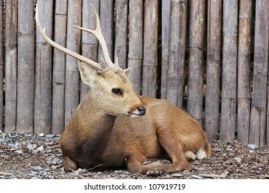 Sambar deer young  at  Thailand