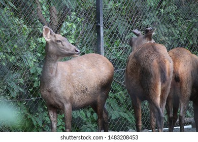 Sambar deers are large deers found in Indian national parks