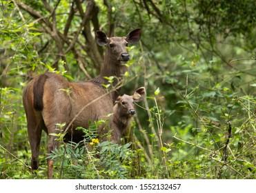 Sambar deers in the lush green forest of Kabini, India