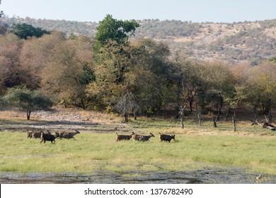 Sambar Deers in waterhole,Ranthambhore National park,Rajasthan,India