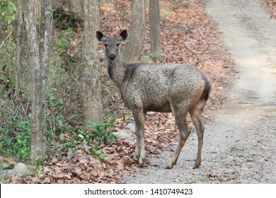 Sambar deer:The sambar is a large deer native to the Indian subcontinent, southern China, and Southeast Asia.
