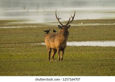 Sambar, Rusa unicolor, bull, male, deer, in marshy area, with house crow, Corvus splendens, Keoladeo National Park, Utter Pradesh, India