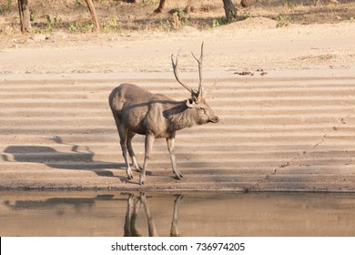 The sambar (Rusa unicolor) is a large deer native to the Indian subcontinent.