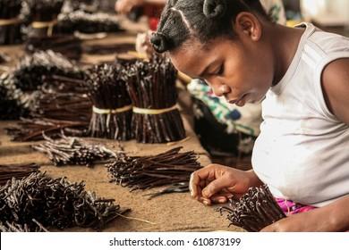 Sambava, Madagascar, Jan 12 : A Malagasy worker manufacturing vanilla in Sambava, Madagascar on January 12, 2017