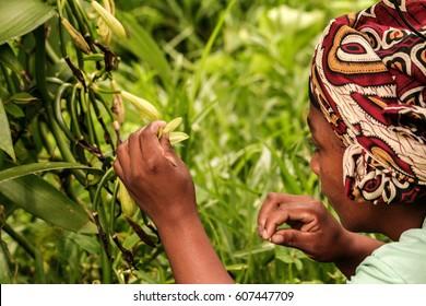 Sambava, Madagascar, Jan 13: A malagasy woman pollinate manually a vanilla flower on January 13, 2017