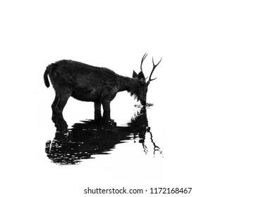 Sambhar deer grazing at the ranthambore national park