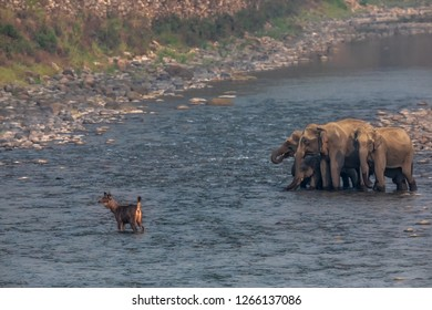 Sambhar leading the way for the pachyderms at Ramganga River at Corbett National Park, India