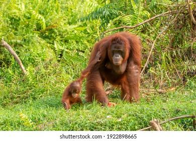Samboja Lodge - orangutan rescue station