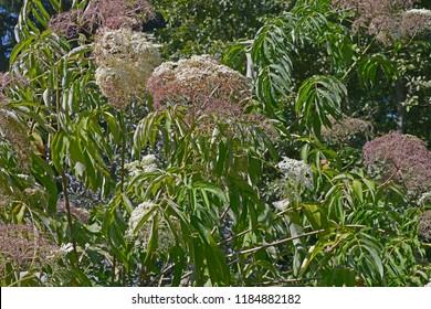 The Sambucus canadensis flowering in a garden border
