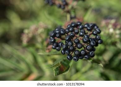 Sambucus ebulus known as danewort, dane weed, danesblood, dwarf elder or European dwarf elder berries. Close up, top view. Copy space. Shallow depth of field