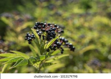Sambucus ebulus known as danewort, dane weed, danesblood, dwarf elder or European dwarf elder berries. Close up view. Copy space.  Selective focus.