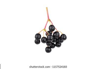 Sambucus (Elder or Elderberry). Isolated on White Background.