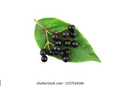 Sambucus (Elder or Elderberry). Isolated on White Background.