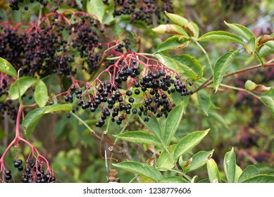 Sambucus fruit close up