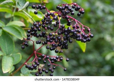 sambucus nigra, elderberry, black ripe elder berries on twig closeup