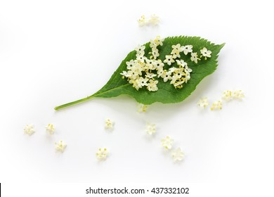 Sambucus nigra, elderberry flower with leaves