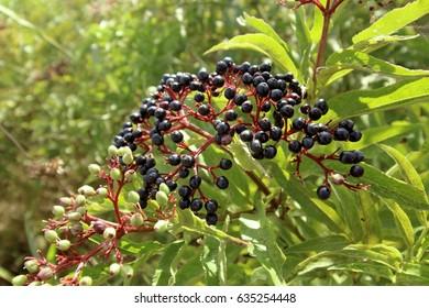 Sambucus nigra fruits