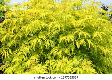 Sambucus racemosa cultivar Plumosa aurea. Shrub with yellow leaves.