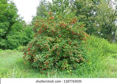 Sambucus racemosa (Red elderberry) bush with red berries in the meadow.