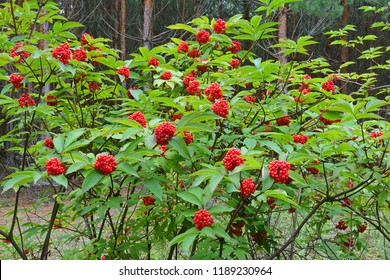 Sambucus racemosa (Red elderberry) bush with red berries in the pine forest.