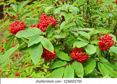Sambucus racemosa or red elderberry bush with red berries after rain. Natural impressionism.