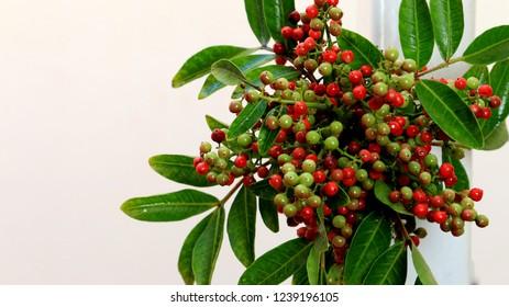 Sambucus racemosa, red elderberry, red-berried elder on Seashell, off-white, color background