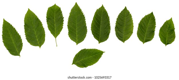 Sambucus racemose. Set with separate leaves. Leaves isolated on a white background. Leaves for design.