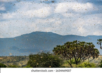 Samburu landscape viewed through swarm of invasive, destructive Desert Locusts. This flying pest is difficult to control and spreads quickly, up to 150km (90 miles) per day. Schistocerca gregaria