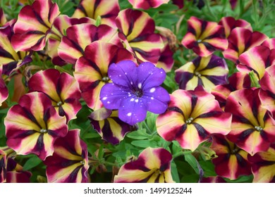 Same but different - colorful petunia flowering texture background