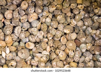Same type of sea shells collected for decorative purposes