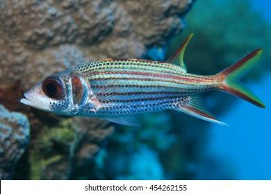 Sammara squirrelfish (Neoniphon sammara) underwater in the coral reef