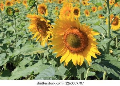 Sammer. Flowering sunflowers