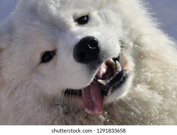 The Samoyed  is a breed of large herding dog