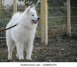 Samoyed is a breed with a unique coat of snow-white color, playful character and a unique innate smile