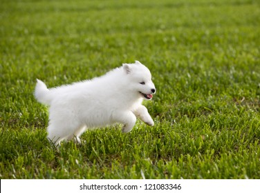 Samoyed dog.
