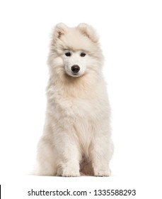 Samoyed dog, 4 months old, sitting in front of white background